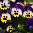 Pansy flowers — Foto Stock