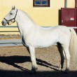 Lipizzaner — Stock Photo