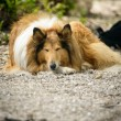 Sleeping dog — Stock fotografie