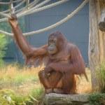 Orangutan — Stock Photo #30005225