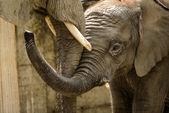Dítě slon — Stock fotografie