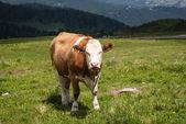 牛の肖像画 — ストック写真