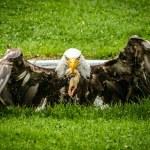 Eagle — Stock Photo #32417167