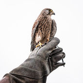 Kestrel — Stock Photo