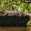 Varanus — Stock Photo