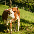 Calf — Stock Photo #46546447
