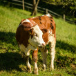 Calf — Stock Photo #47576411