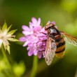 Fly on flower — Stock Photo #50657397