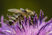 Honey bee and fly — Stock Photo