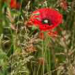 Red poppy in a dense green grass in the morning — Stock Photo