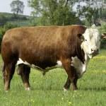 Hereford Bull — Stock Photo