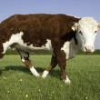 Stock Photo: Single Hereford Cow