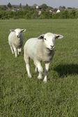Two Sheep — Stock Photo