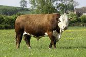 Herefordský býk — Stock fotografie