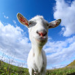 Goat — Stock Photo #16260933