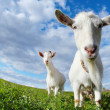 Goat — Stock Photo #16261293