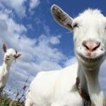 Goat — Stock Photo