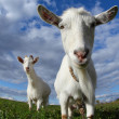 Goat — Stock Photo