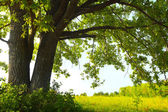 Oak tree with huge branches on summer meadow at sunny day — Stock Photo