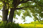 árbol del roble con enormes ramas en prado de verano en día soleado — Foto de Stock