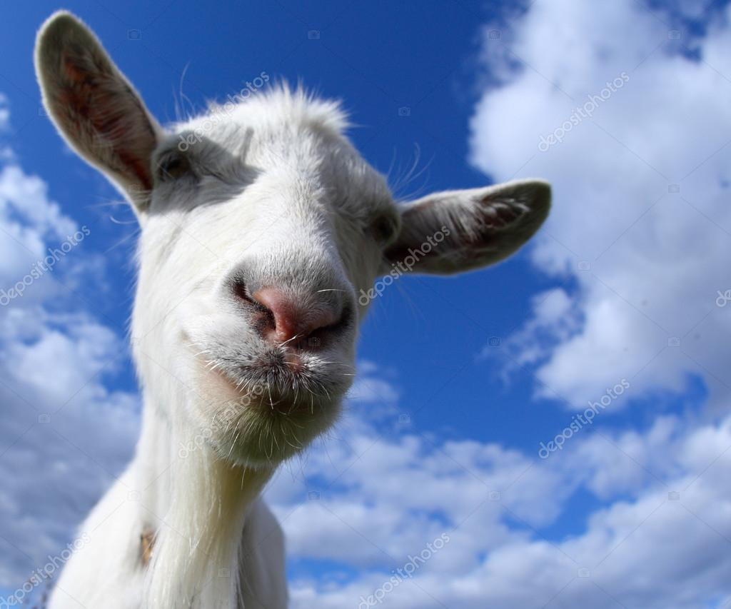 Portrait of a funny goat looking to a camera over blue sky background. Focus on the nose — Stock Photo #16260747