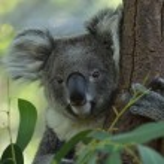Koala — Stock Photo #16293143