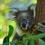 Koala — Stock Photo #18324133