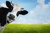 Cow. — Stock Photo