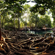 Mangroves — Stock Photo #40185485