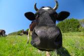 Nära upp skott av en ko — Stockfoto