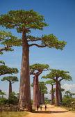 Baobab — Stock Photo