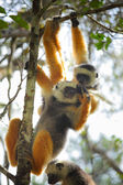 Diademed sifaka hanging on a tree's branch in a forest. Andasibe - Mantadia national park, Madagascar — Stock Photo