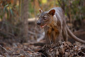 Fossa — Stock Photo