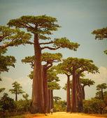 Baobab — Stockfoto