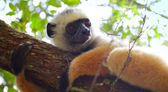 Sifaka — Stock Photo