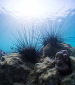 Urchins — Stock Photo