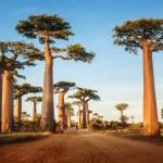 Baobabs — Stock Photo #50241629