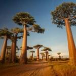 Baobabs — Stock Photo #50241669