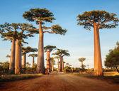 Baobabs — Stock Photo