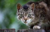 Gatto grigio — Foto Stock