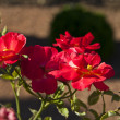 Bush of red roses — Stock Photo