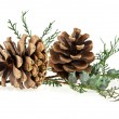 The cones and the branch of a tree — Stock Photo