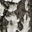 Bark of birch — Stock Photo