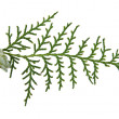 Stock Photo: Branch of thuja