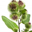 Stock Photo: Inflorescence of Greater Burdock