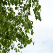 Birch branches — Stock Photo