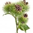 Greater Burdock — Stock Photo