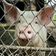 Pig in a metal fence — Stock Photo