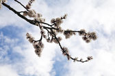 Flower of apricot — Stock Photo