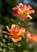 Bush of yellow roses — Stock Photo